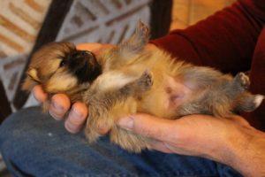 massage chiot spitz